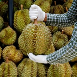 Durian seeds (Durio zibethinus)  - 3