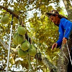 """Durian seme """"Kralj voca"""" (Durio zibethinus)  - 4"""