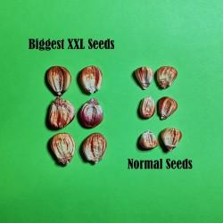 Sementes de milho gigante peruano Sacsa Kuski  - 10
