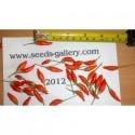 Trinidad Moruga Scorpion Seeds Worlds Hottest