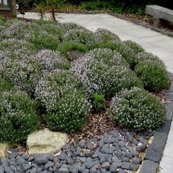 Sementes de Tomilho (Thymus...