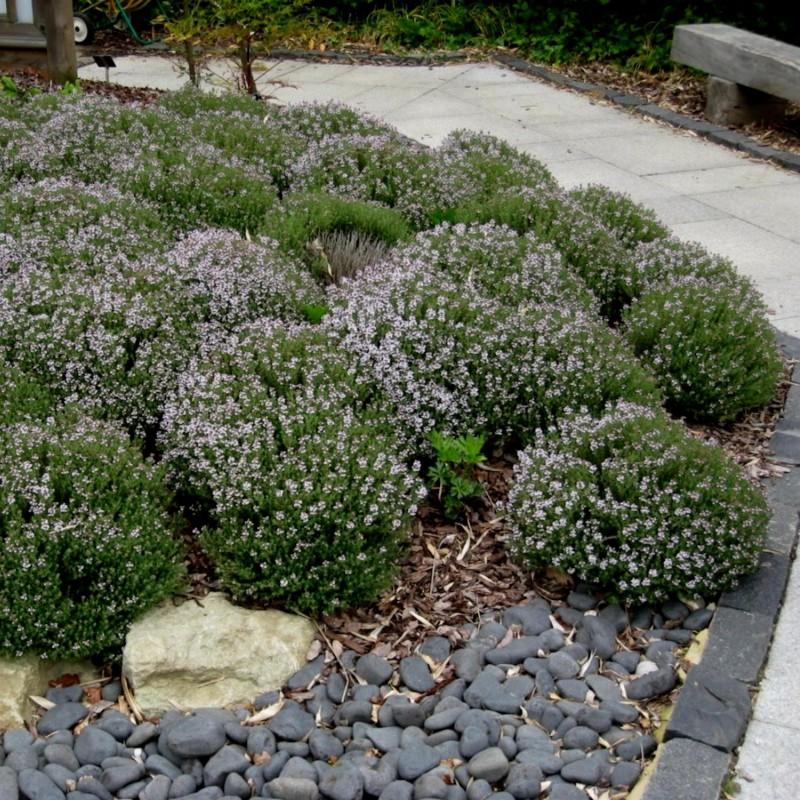 3000 Seeds Thymus Vulgaris Thyme English Winter