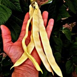 Buddha Market bönor frön