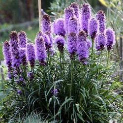 بذور Liatris spicata