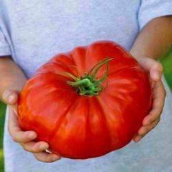 Tres Cantos tomatfrön