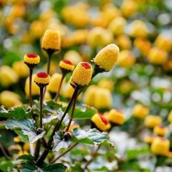 Toothache Plant - Paracress...