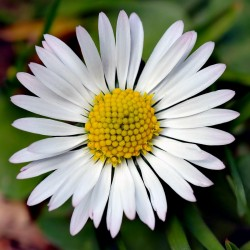 Common Daisy, Lawn Daisy or English Daisy Seeds