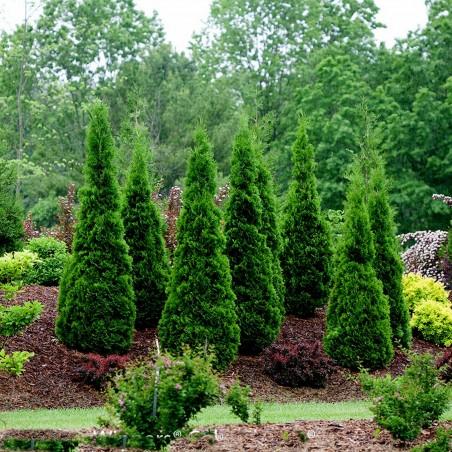 Sementes de Arborvitae americano (Thuja occidentalis)