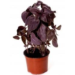SAFLAX Albahaca Roja Ecol/ógico Ocimum basilicum 400 semillas