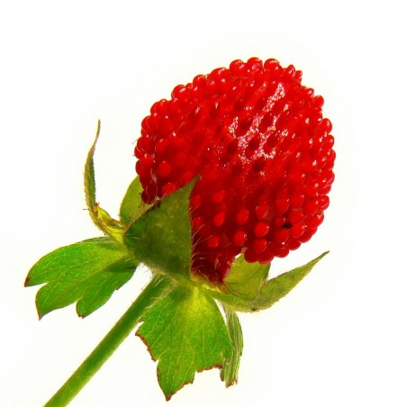 Σπόροι ινδική φράουλα (Duchesnea indica)