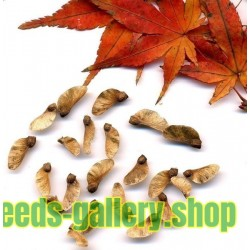 Japanese Red Maple Seeds