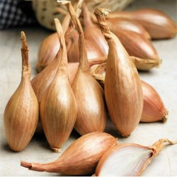 Shallot Long French Onion...