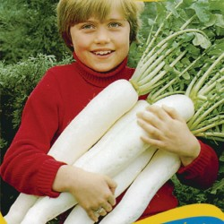 Giant Japanese White Radish...