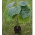 Paulownia Elongata Seeds