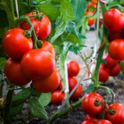 Graines de tomate...