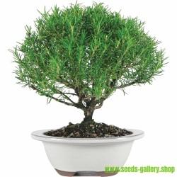 Rosemary Seeds