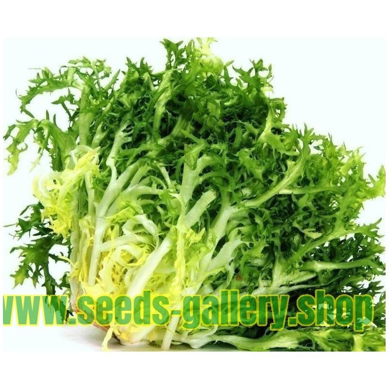 Endive 'De Ruffec' Salad Seeds