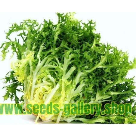 Semillas De Escarola Para Ensaladas 'De Ruffec' (Cichorium endivia)