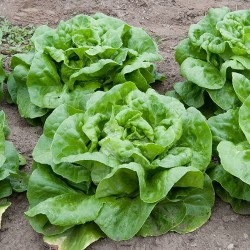 Butterhead Lettuce Seed ATTRACTION