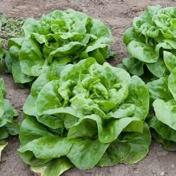 Salatsamen Kopfsalat...