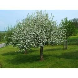 MAHALEB CHERRY or ST LUCIE CHERRY Seeds (Prunus mahaleb)